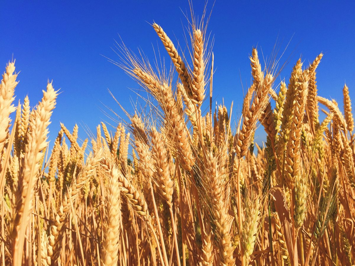 GMO Foods Health Risk